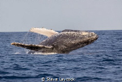 Male humpback breaching near our boat by Steve Laycock
