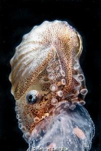Female paper nautilus on a jellyfish. by Mehmet Salih Bilal
