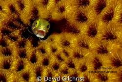 Blennie sp. (Acanthemblemaria spinosa)Roatan Marine Park by David Gilchrist