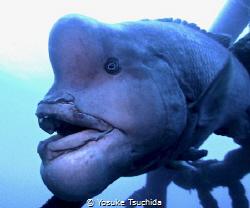 The Yokozuna Fish/ This fish bossing around his territory... by Yosuke Tsuchida