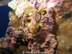 Warty frogfish (Clown frogfish) - Antennarius maculatus by Hansruedi Wuersten