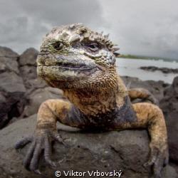 Dragon - Marine Iguana (Isla Santa Cruz, Galápagos) by Viktor Vrbovský