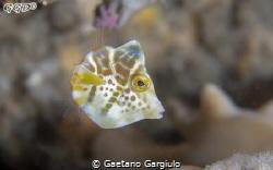 super tiny, super cute,  I used a +7 by Gaetano Gargiulo