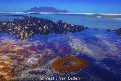 Underwater Cape Town.A sandy anemone keeps guard with Tab... by Peet J Van Eeden