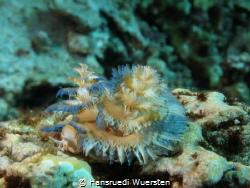 Feather Duster Worm (X-mas tree worm) - Spirobranchus cf ... by Hansruedi Wuersten