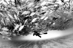 Schooling Jacks of Cabo Pulmo by Nick Polanszky