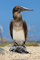 Blue-footed Booby (Sula nebouxii) - Juvenile without typi... by Viktor Vrbovský