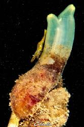 Doorschijnende zakpijp, ciona intestinalis with veranderl... by Eduard Bello