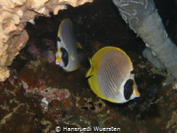 Panda Butterflyfish - Chaetodon adiergastos by Hansruedi Wuersten