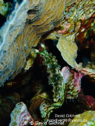 Lettuce Sea Slug Elysia crispata) Roatan Marine Park by David Gilchrist