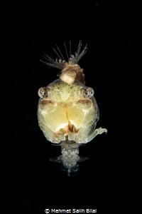 Juvenile crab at blackwater. by Mehmet Salih Bilal
