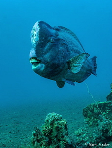 Close encounter with this Bumphead Parrotfish on a mornin... by Norm Vexler