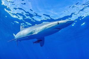 Blue Shark and surface, Cabo San Lucas México by Alejandro Topete