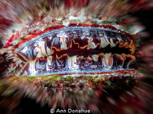 Thorny Oysters are  truly beautiful invertebrates. A bit ... by Ann Donahue