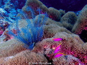 A cplourful example of the beauty of the reefs in the Sol... by Ann Donahue