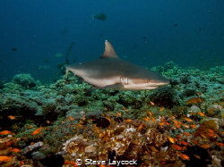 grey reef shark cruising, by Steve Laycock