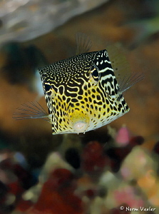 Straight on view of Solor Boxfish in Ambon. by Norm Vexler