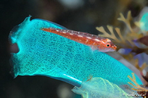 Common Ghostgoby in Bali by Norm Vexler