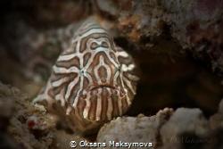 Juvenile Psychedelic frogfish(Histiophryne psychedelica)... by Oksana Maksymova