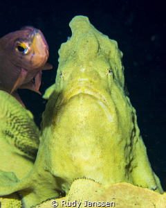 Giant frog fish with friend by Rudy Janssen