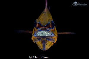 Egg series - Cardinal Fish by Chun Zhou