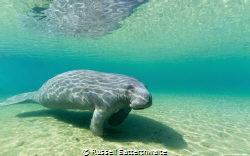 Manatee seeking the warm water of the Florida Springs by Russell Satterthwaite