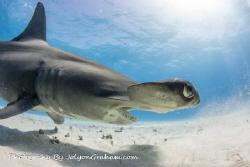 Hammerhead close up at Tiger Beach by Joe Graham