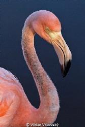 Flamingo from salt lagoon on isla Isabela, Galápagos by Viktor Vrbovský