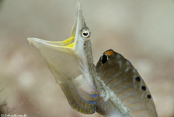 Yellowface Pikeblenny  Chaenopsis Limbaugh  Bonaire by John Roach