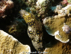 Large Spotted Snake Eel - Ophichthus polyophthalmus by Hansruedi Wuersten