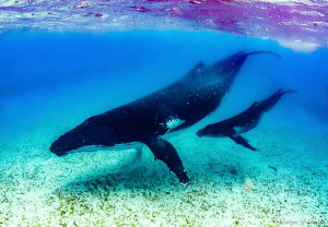 Mother and baby Humpbacks in the shallow waters of Tonga. by Norm Vexler