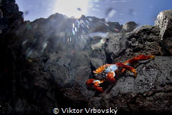 Grapsus grapsus - Red Rock Crab (Isla Santa Cruz, Galápagos) by Viktor Vrbovský