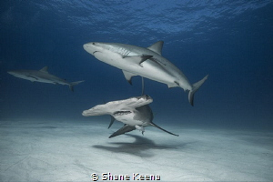 A trio of the oceans predators patrol the sandy banks of ... by Shane Keena