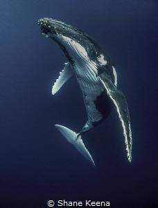 Humpback whale (Megaptera novaeangliae)  I only had a co... by Shane Keena