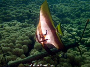 A young Batfish getting a good cleaning in the shallows i... by Ann Donahue