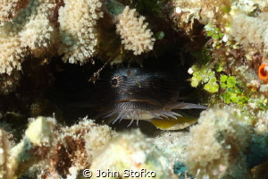 Cozumel Splendid Toad Fish by John Stofko