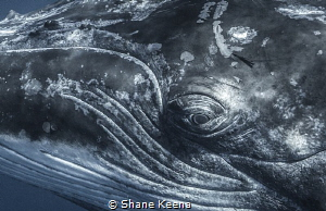 Eye to eye with a humpback whale. by Shane Keena