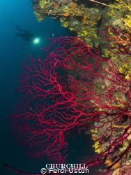 Red coral & döver by Ferdi Üstün