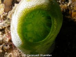 Green Urn Sea Squirt - Didemnum molle (Atriolum robustum) by Hansruedi Wuersten