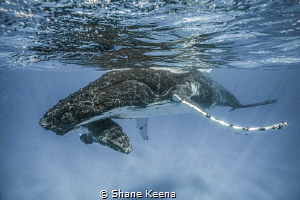 Humpback mom and calf  Sometimes things go just right. A... by Shane Keena
