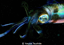 Attractive Big-fin Reef Squid/tested Pop and Vivid setting. by Yosuke Tsuchida
