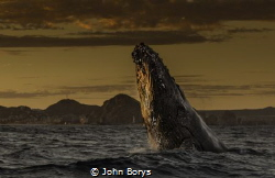 Sunset on the Sea of Cortez and this Humpback just kept b... by John Borys