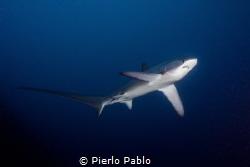 Thresher shark at Cagayan Islands on board Seadoors Livea... by Pierlo Pablo