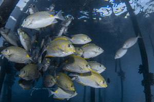 Golden-lined spinefoot, The golden-lined spinefoot is a s... by Suzan Meldonian