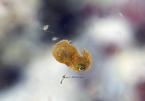 A little pygmy squid with 2 littler friends playing tag by Suzan Meldonian