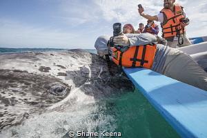 A long awaited first kiss on a friendly gray whale calf i... by Shane Keena