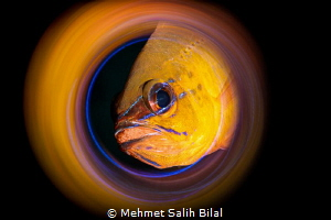 Cardinal fish with eggs. by Mehmet Salih Bilal