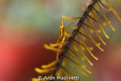 Crinoid shrimp at home by Arun Madisetti