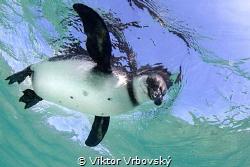 Galápagos Penguin (Spheniscus mendiculus) - Isla Isabela by Viktor Vrbovský