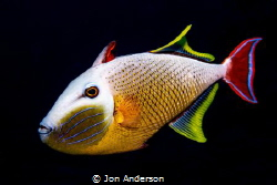 A male redtail triggerfish displays its vibrant colors an... by Jon Anderson